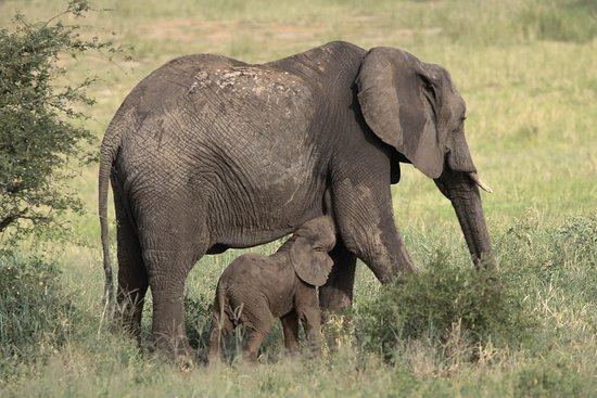 Bright African Safaris: Elephant with Baby, Tarangire National Park, 26.2.2018