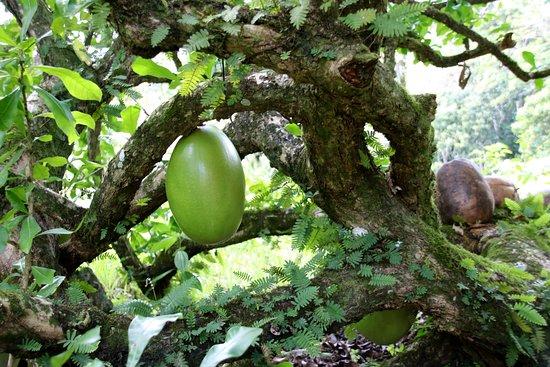 Gaspar Hernandez, República Dominicana: Kalebassenbaum auf der Finca