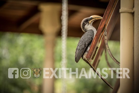 Yapahuwa, Sri Lanka: A Hornbill visiting one of the bungalows.