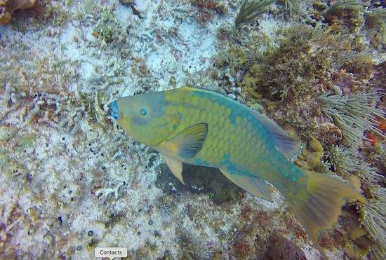Blue Magic Scuba : Parrott fish