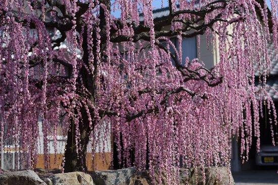 Manno-cho, Japan: 見事なしだれ梅