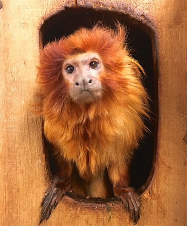 Millbrook, Estado de Nueva York: Golden Lion Tamarin