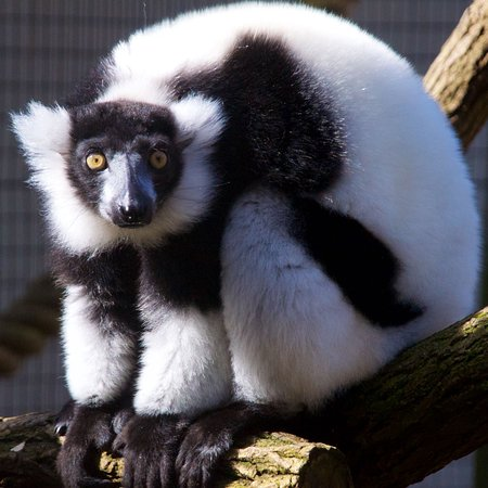 Millbrook, Estado de Nueva York: Black & White Ruffed Lemur