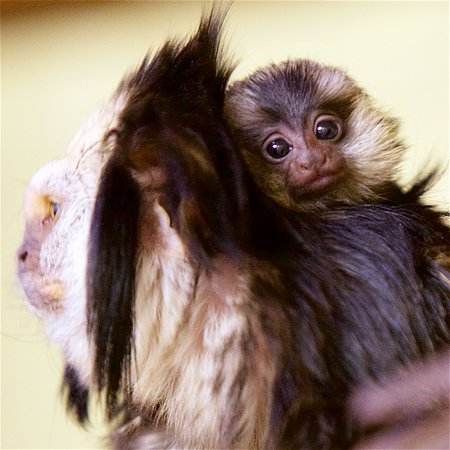 Millbrook, Estado de Nueva York: Marmosets
