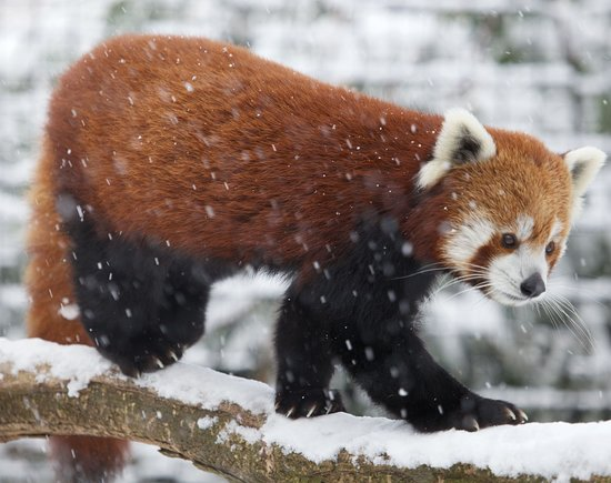 Millbrook, Estado de Nueva York: Red Panda