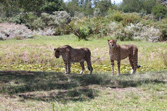 Tenikwa Wildlife Awareness Centre: Geparden