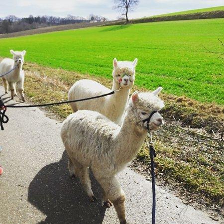 Altomunster, Germany: Alpakas