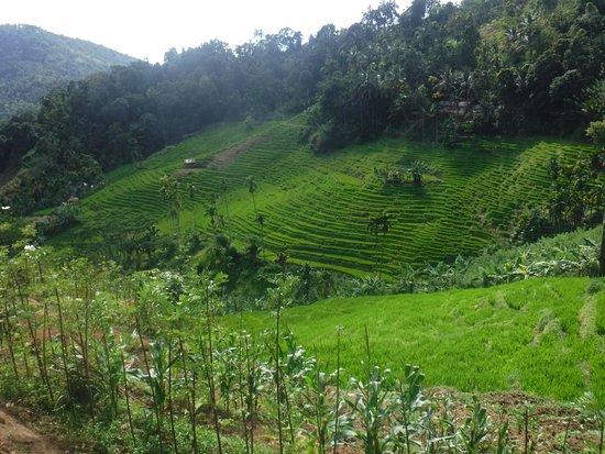 Central Province, Sri Lanka: Rýžová pole