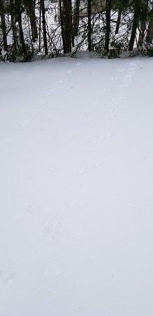 Wilton, ME: Possible rabbit tracks