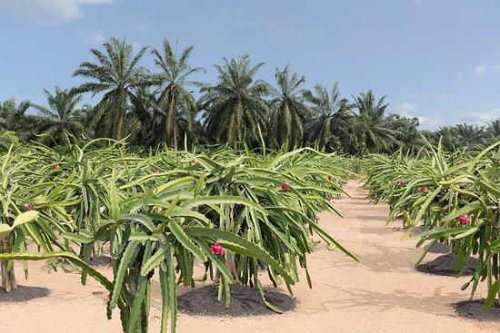 Dragon fruit farm sepang golden adrenal steroid pathway