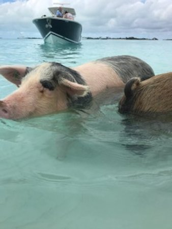Staniel Air & Exuma Adventures - swimming with the pigs