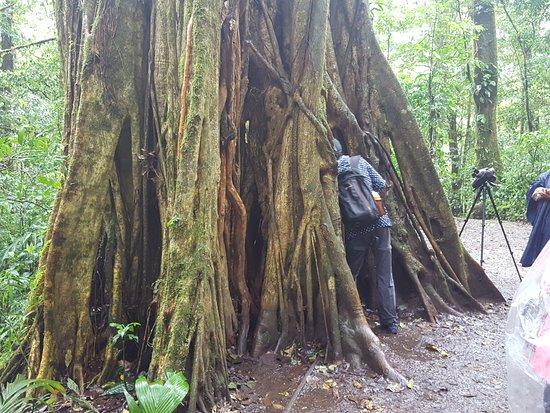 Monteverde Cloud Forest Reserve, Kosta Rika: giant ficus