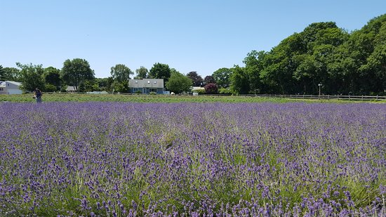 East Marion, NY: The Lavender Farm - 3 minutes away