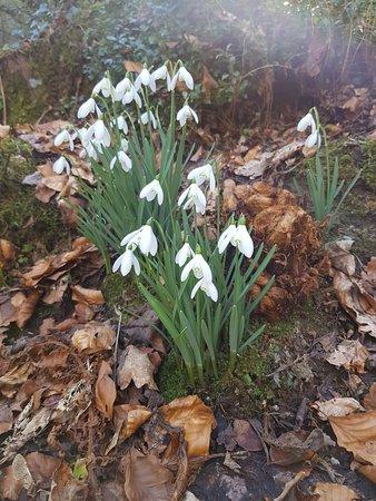 Plas Cadnant Hidden Gardens: Snowdrops