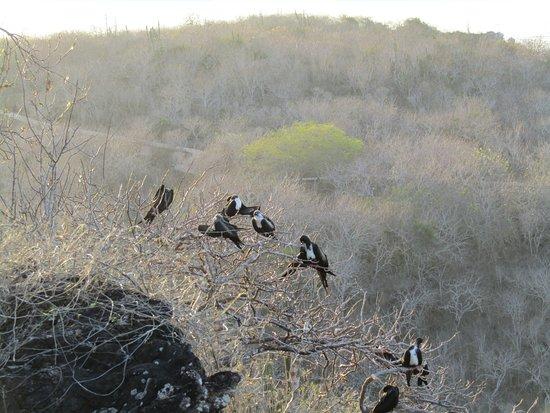 Puerto Baquerizo Moreno, Ekvador: Frigate Birds
