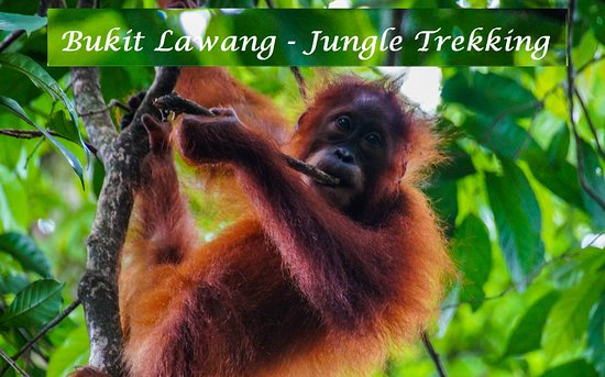 Bukit Lawang - Jungle Trekking