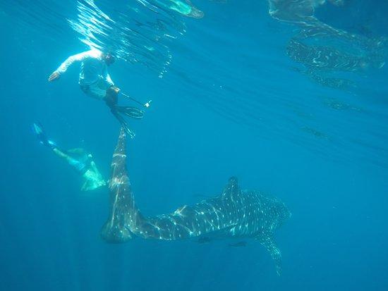 Al Mussanah, Oman: Seaoman Whale Shark Safari 2017