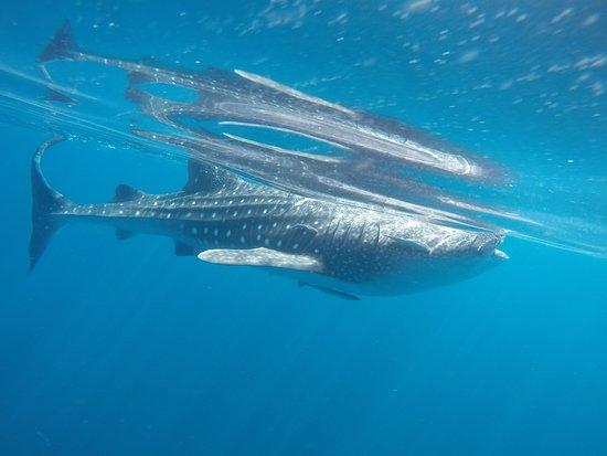 مسانة, عمان: Seaoman Whale Shark Safari 2017 