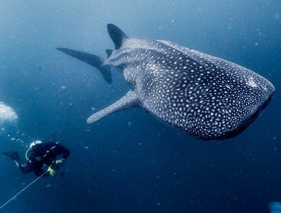 Tofo, Mozambique: Whale Shark