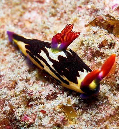Tofo, Mozambique: Nudibranch