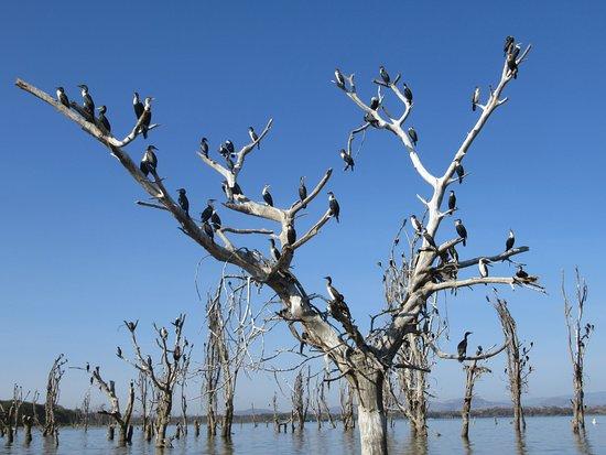 Rift Valley Province, كينيا: un arbre à cormorans !