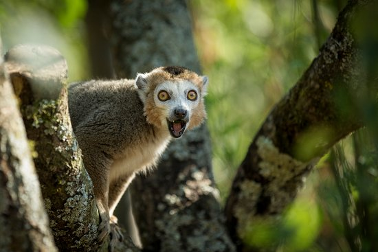 Winchester, UK: Crowned Lemur in Lemur Loop