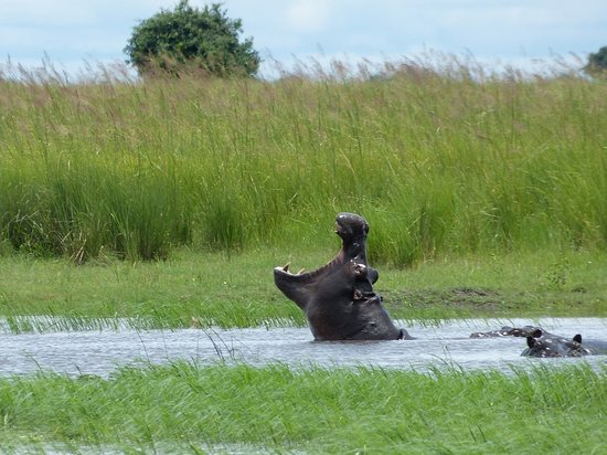 """Chobe Game Lodge : """"Yawning"""" hippo as seen from Chobe River tour boat"""