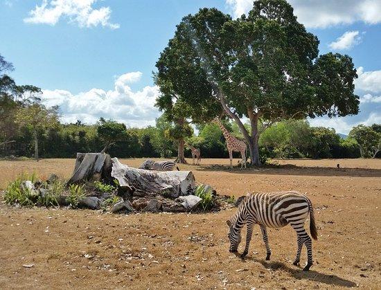 Busuanga Island, Philippinen: zebras and giraffes