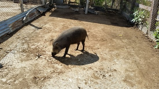 Busuanga Island, Philippinen: wild boar