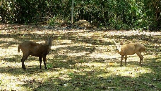 Busuanga Island, Philippinen: deer