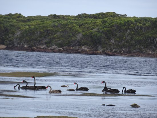 Pieman River Cruise: Swans on the Pieman River