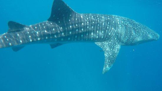 Walhai Beim Tauchen Gesehen Picture Of Blue Ocean Dive Centers