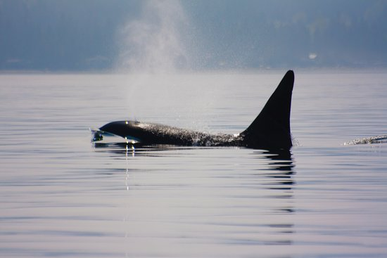 Campbell River, Kanada: orka