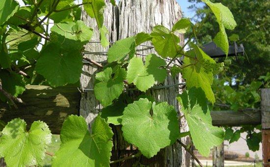 Calera, AL: Close Up Norton Grape Vines