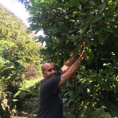 Hummingbird Beach Resort: Chef David spending sometime in the family garden.  He's showing me some of the coffee beans tha