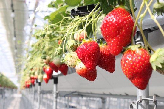 Yamamoto-cho, ญี่ปุ่น: 沢山のイチゴが連なる様子は圧巻!