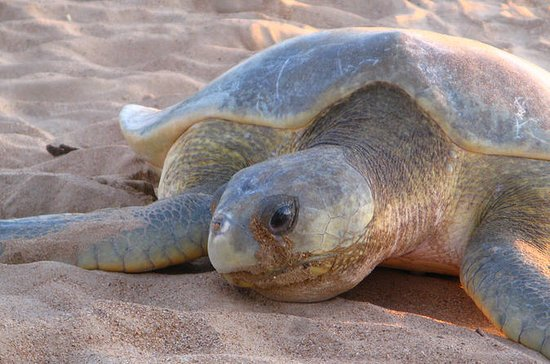 Sunset Turtle Sighting on Bare Sand...