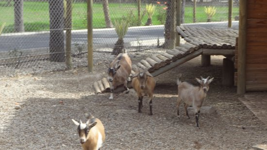 Robertson, Νότια Αφρική: Goats coming to enquire
