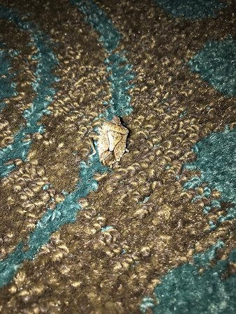 Hampton Inn Front Royal: this is one of many stink bugs found in the room.