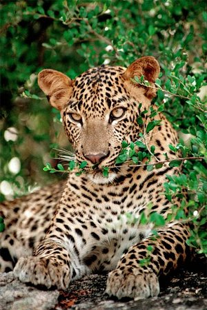 Leopard Safaris