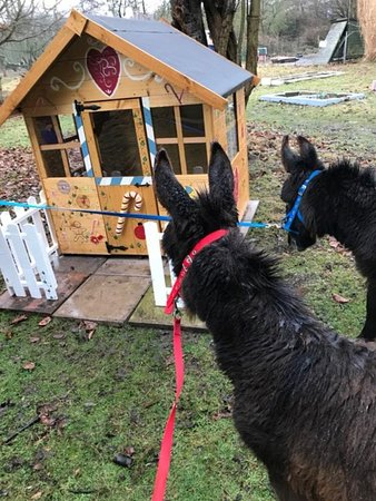 Faversham, UK: Our gorgeous miniature donkeys stopping off at the Gingerbread House