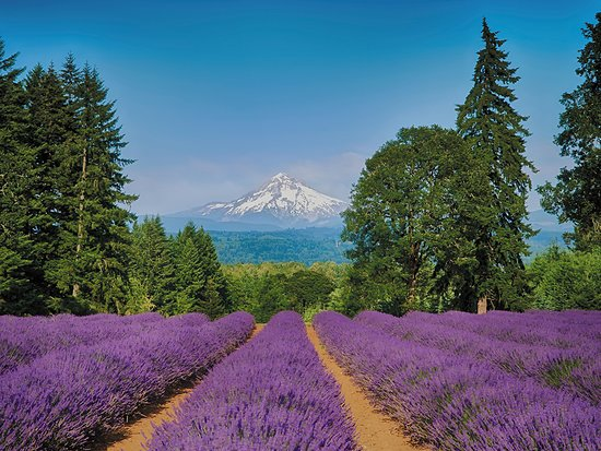 Oregon City, OR: U-Pick lavender with a view of Mt. Hood