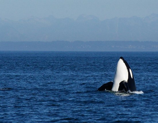Nanaimo, Canada : An orca spyhops in the Strait of Georgia
