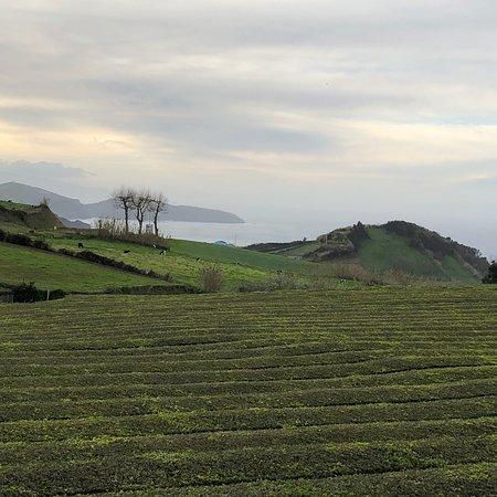 Gorreana Tea Plantation: photo2.jpg