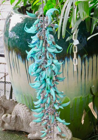 Restaurant S Jade Vine In Bloom Picture Of Holuakoa Cafe