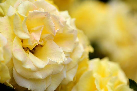 Sunport Rose Garden