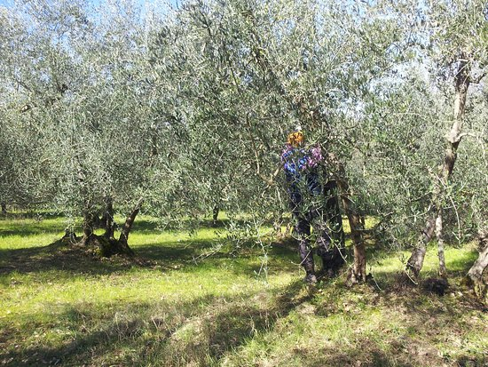 Peccioli, Italien: Pruning olive trees in February