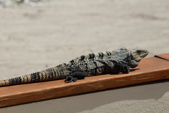 Turneffe Island, Belice: Resident iguana on the grounds
