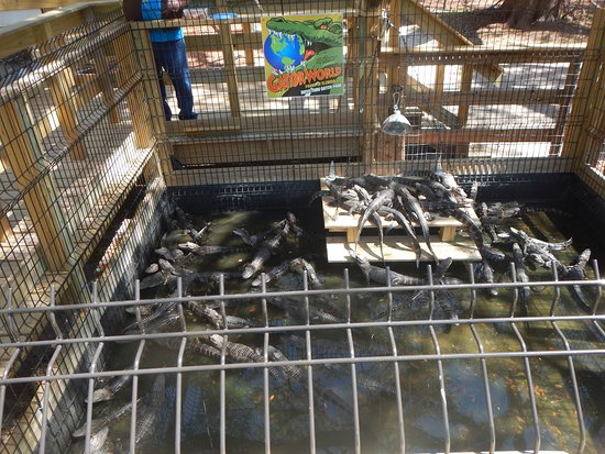 Wildwood, Flórida: baby alligator in a pen you can feed with a fishing line