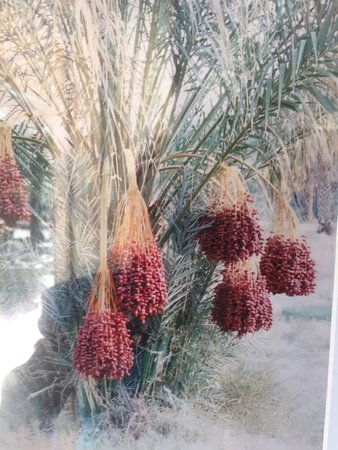 Tecopa, CA: Date tree with date pods